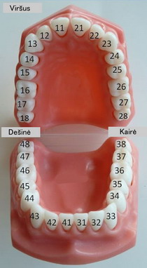 Dantų numeravimas